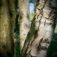 Baumstamm einer Birke an einem Wanderweg