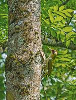 Grünspecht  'Picus viridis'