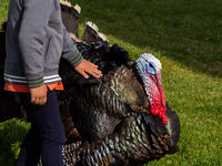 One children touching with his hand a turkey on a organic farm