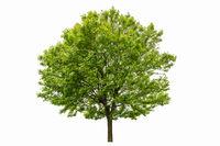 triangle maple tree