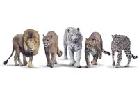 Wild cats on white background