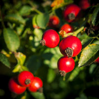 Rosehips on autumn branches