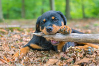 Portrait of rottweiler puppy biting branch in nature