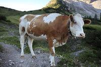 junge Kuh auf der Bergweide
