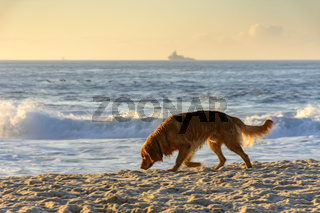 Golden Retriever paced at sunrise on the beach sand