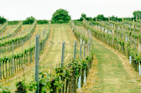 Vineyard landscape. Farming