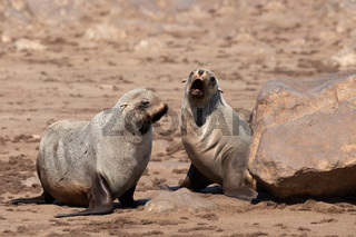 brown fur seal in Cape Cross, Namibia