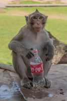 Long-tailed macaque sits holding empty plastic bottle