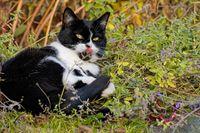 Katze in der Katzenminze