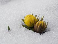 Eranthis hyemalis im Schnee
