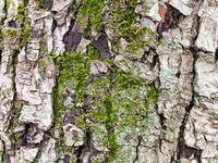 cracked bark on mature trunk of apple tree