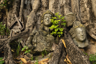 Broken statues of women by roots of tree in Old City Chiang Mai