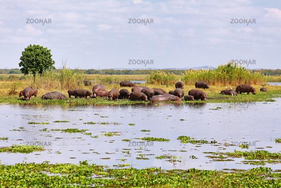 Flusspferde, Liwonde Nationalpark, Malawi, (Hippopotamus amphibius) | Hippos, Liwonde National Park, Malawi, (Hippopotamus amphibius)