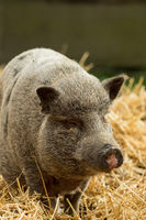 A pig stands in the middle of the straw