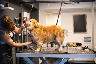 pet hairdresser woman cutting fur of cute yellow dog