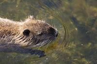 Otter in Richelieu, Indre-et-Loire, Centre-Val de Loire, France