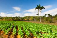 Famous Cuba farmland tobacco area, Valley de Vinales, Cuba.