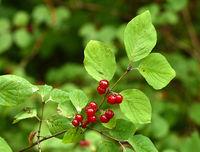 Rote Heckenkirsche, Lonicera xylosteum, Gewöhnliche Heckenkirsche,
