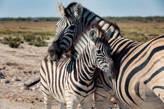 Zebra in bush, Namibia Africa wildlife