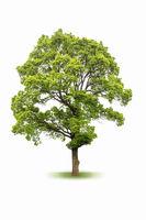 large evergreen tree isolated on white