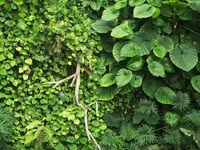 Grüne Blätter einer Hecke