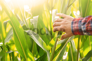 Farmer's hand touching maize stalks at field summer time