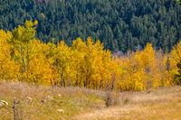 Autumn aspen trees in Colorado, USA