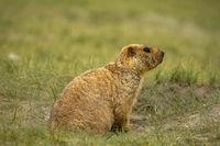 Himalayan Marmot, Marmota himalayana inhabits alpine grasslands throughout the Himalayas and on the Tibetan Plateau Jammu and Kashmir, India.