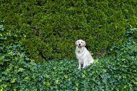 Golden Retriever dog on green