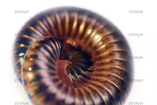 vegetable-eating millipedes