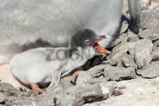 newly hatched Gentoo Penguin chick who sits in a nest of stones with an open beak