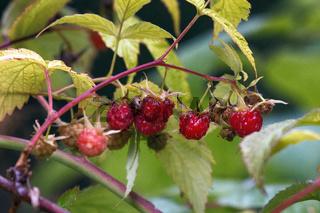 wild-growing ripe sweet raspberry