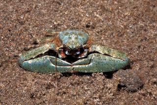 Porcelain Crab, Petrolisthes sp
