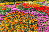 Flowerbed with tulips hyacinths and daffodils