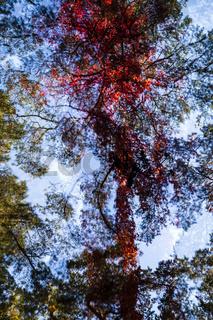 Wilder Wein mit Kiefer im Herbst