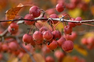 1 BA Zieräpfel 2235_DxO.jpg
