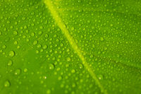 water drops on plant leaf macro - due droplets on  leaves closeup