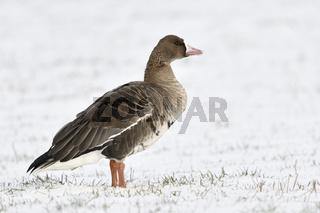 allien auf weiter Flur... Blässgans *Anser albifrons* auf schneebedeckten Wiesen und Weiden am Niederrhein