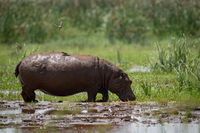 Hippopotamus crosses muddy marsh with bird above