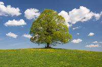 Perfekte Linde als Einzelbaum im Frühling