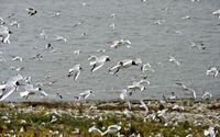Ein Schwarm Lachmöwen (Chroicocephalus ridibundus) im Flug an der Küste der Nordsee