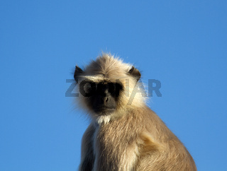 Langur monkey portrait against the clear night sky.