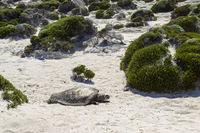 Tote Schildkroete, death turtle