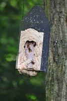 Vespa crabro Hornissennest in einem Vogelhaus