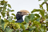 bird, Silvery-cheeked Hornbill, Ethiopia wildlife