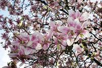 Blick von unten in einen blühenden Magnolienbaum