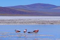 Andean Flamingos, phoenicoparrus andinus, feeding at Laguna De Mulas Muertas near Paso Pircas Negras, Argentina