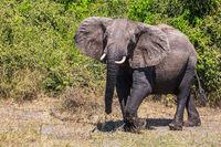 Elephant - loner in Chobe National Park