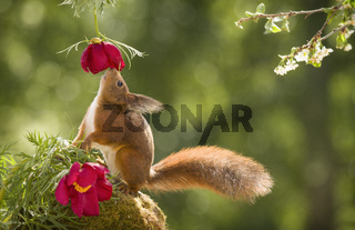 red squirrel looking up at a peony