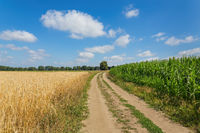 Agricultural landscape with  country road corn field and cereal plants